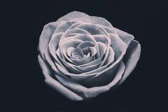 Fabulous white rose Royalty Free Stock Images