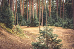 Fabulous wood edge with fir tree and ground covered with fir needles in vintage colors. Fabulous forest edge with fir tree and ground covered with fir needles in Royalty Free Stock Photos