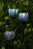 Fabulously Beautiful blue flowers with raindrops Stock Image