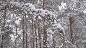 Fabulously beautiful winter coniferous forest stock footage