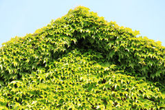 Facade covered with ivy plants Stock Photos