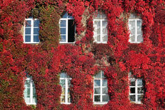 The facade of old building overgrown with red grapes and white windows. Stock Image
