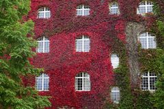 Facade of old house with red ivy Stock Photo