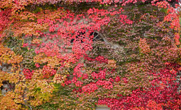 Facade overgrown with colorful autumnal vine leaves Stock Photography
