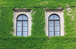 Facade overgrown with ivy leaves, two arched windows Stock Image