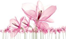 Faccia i raggi x dell'immagine di un fiore isolato su bianco, il ill di Ameryllis 3d illustrazione di stock