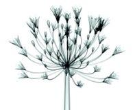 Faccia i raggi x dell'immagine di un fiore isolato su bianco, l'agapanthus di Bell Fotografia Stock Libera da Diritti