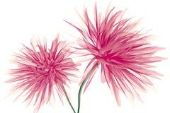 Faccia i raggi x dell'immagine di un fiore isolato su bianco, la dalia illustrazione di stock