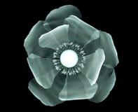 Faccia i raggi x dell'immagine di un fiore isolato sul nero, il papavero Fotografia Stock Libera da Diritti