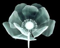 Faccia i raggi x dell'immagine di un fiore isolato sul nero, il papavero Fotografia Stock