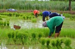 Faccia l'agricoltura della risaia Fotografie Stock