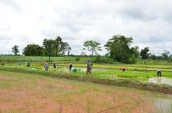 Faccia l'agricoltura della risaia Immagini Stock Libere da Diritti
