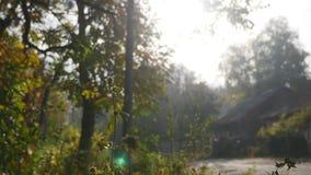 Faccia segno a tramite le foglie di autunno dorate che cadono dagli alberi al rallentatore contro il fondo soleggiato luminoso de archivi video