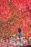 Facciata con l'edera rossa Fotografie Stock