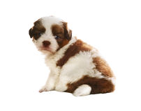 Face of adorable baby shih tzu pedigree dog sitting and watching Royalty Free Stock Image
