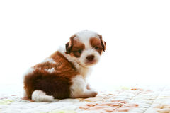 Face of adorable baby shih tzu pedigree dog sitting and watching to camera with eyes contact isolated white background use for ani. Mals and pets theme Stock Photos