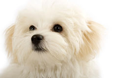 Face of an adorable bichon maltese Stock Image