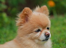The face of an adorable pomeranian dog. Face of a small pomeranian dog looking alert sitting outside Stock Photo