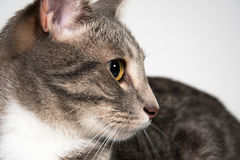 Face of adult cat Royalty Free Stock Images