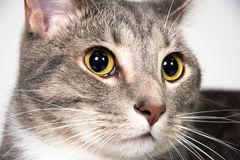 Face of adult cat Stock Image