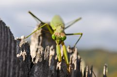 A mantis walking on a broken trunk of a tree stock image