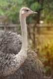 Face of the Adult Ostrich enclosure. Curious African Ostrich.standing in the park Royalty Free Stock Image