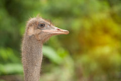 Face of the Adult Ostrich enclosure. Curious African Ostrich.standing in the park Stock Photos