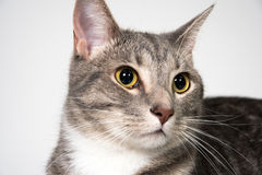 Face of adult cat Royalty Free Stock Image