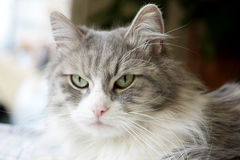 Face of adult tabby cat Royalty Free Stock Image