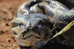 African Rock Python. Face of African Rock Python Stock Photo