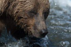 Face of Alaskan brown bear. The face of an Alaskan brown bear fishing in the Brooks River in Katmai National Park, Alaska royalty free stock image