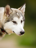 Face of Alaskan Malamute Dog Royalty Free Stock Photography