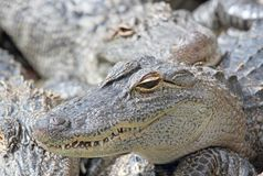 Face of alligator Stock Photos