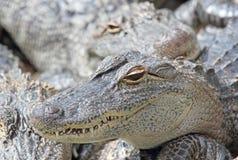 Face of alligator Stock Photos