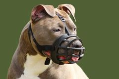 Face of an american staffordshire terrier dog with muzzle. A face of an american staffordshire terrier dog with muzzle royalty free stock images