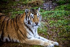 Face of Amur tiger closeup. Tiger. Siberian tiger, Amur tiger. Royalty Free Stock Photos