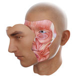 Face anatomy. With visible face muscles vector illustration