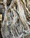 Face of ancient god is visible through an interlacing of roots of a tree in ruins of the temple, Siem Reap, Cambodia Royalty Free Stock Image