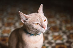 Face of angry cat dimming eyes Royalty Free Stock Photos