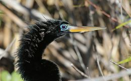 Anhinga Face Stock Photos