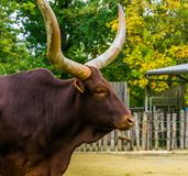 The face of a ankole watusi in closeup, Popular american cow breed with big horns