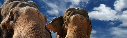 Face of Asian Elephant Stock Photo