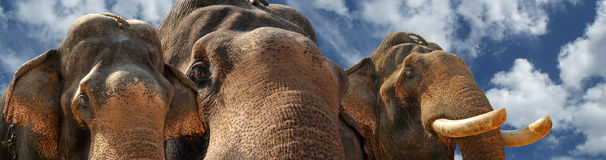 Face of Asian Elephant Royalty Free Stock Images
