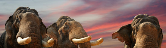 Face of Asian Elephant Royalty Free Stock Photo