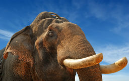 Face of Asian Elephant Royalty Free Stock Photography