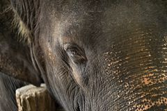 Face of asian elephant Stock Photography