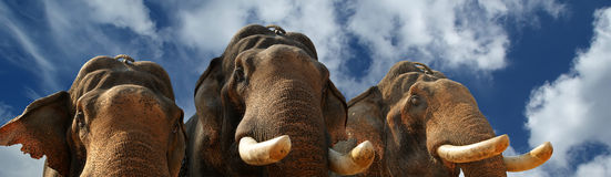 Face of Asian Elephant, or Indian Royalty Free Stock Image