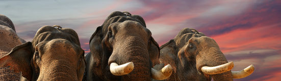 Face of Asian Elephant, or Indian Royalty Free Stock Photography