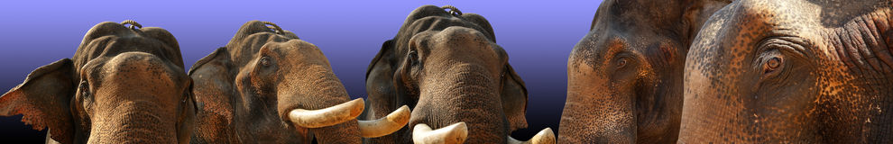 Face of Asian Elephant, or Indian Stock Photo