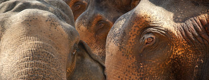 Face of Asian Elephant, or Indian Stock Photography